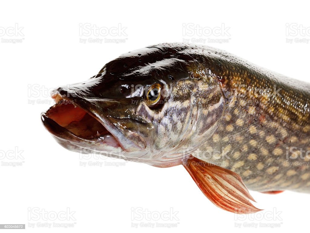 Pike fish on a white background stock photo