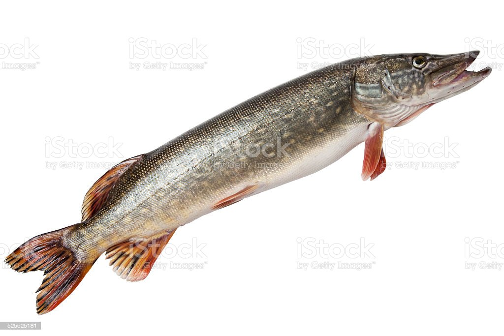 Pike isolated on white background stock photo