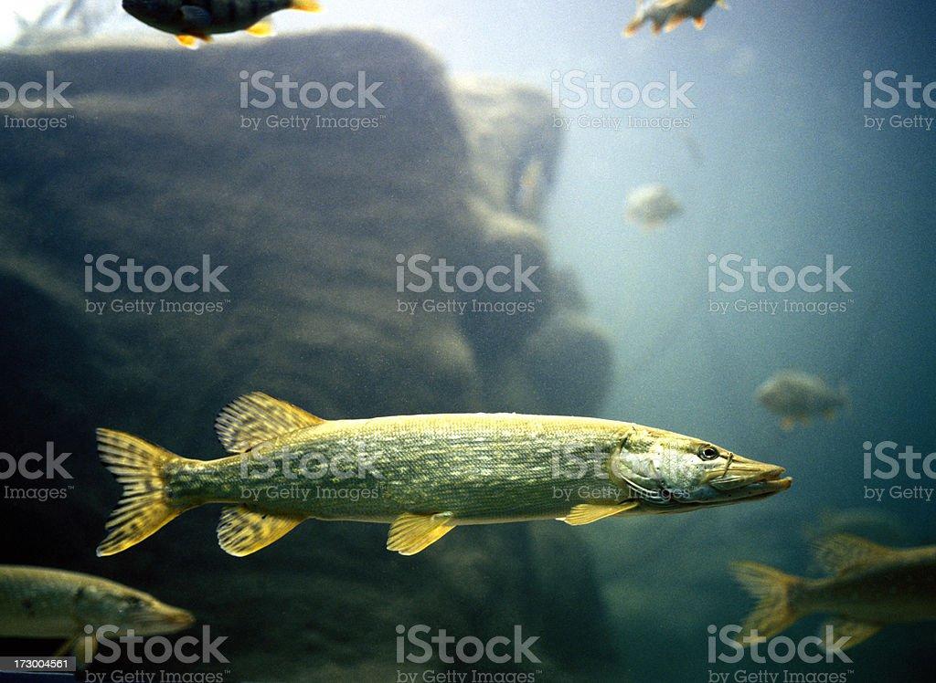 pike perch in aquarium stock photo