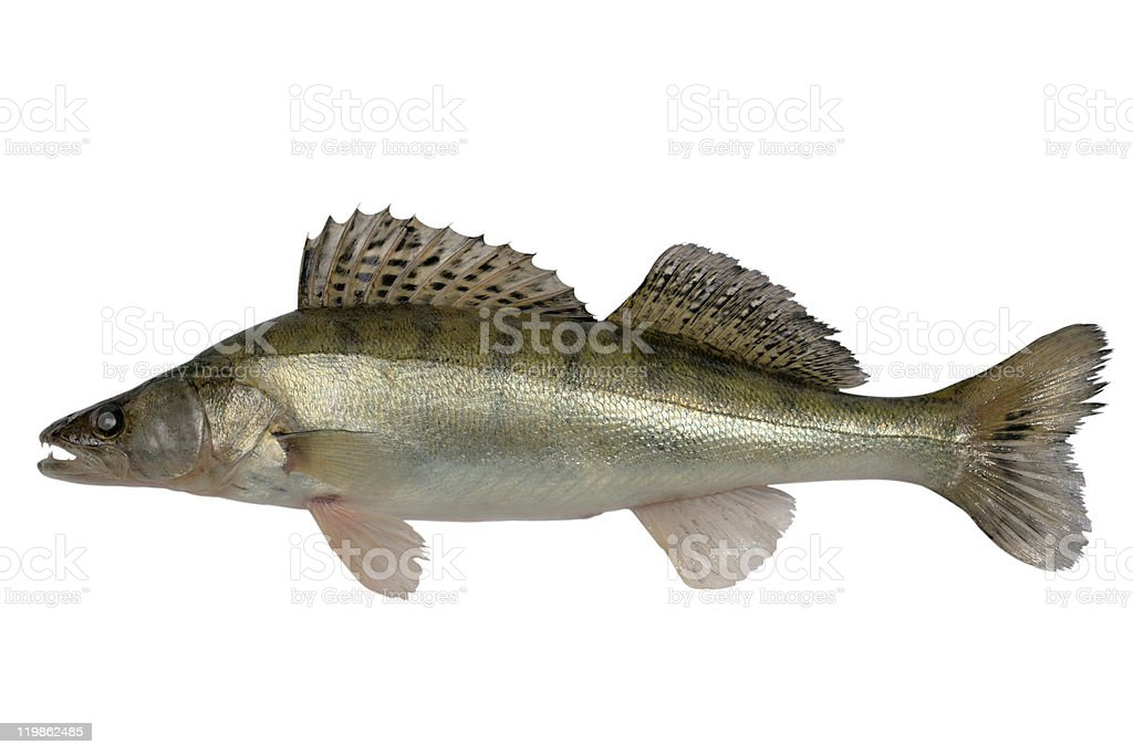 Pike perch stock photo