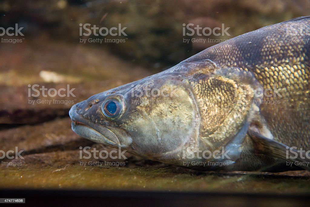 Pike Perch - Sander lucioperca stock photo