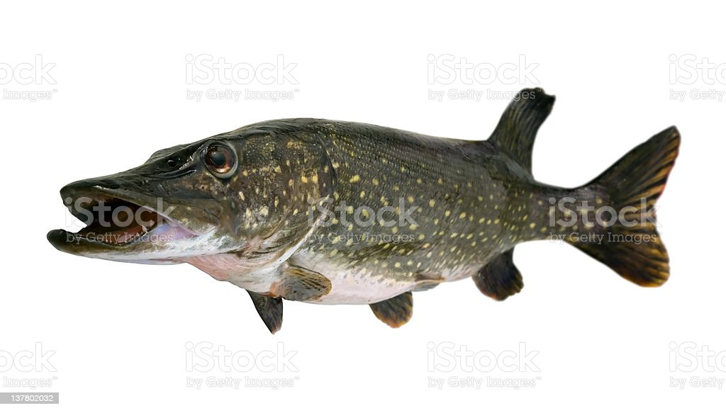 Pike royalty-free stock photo