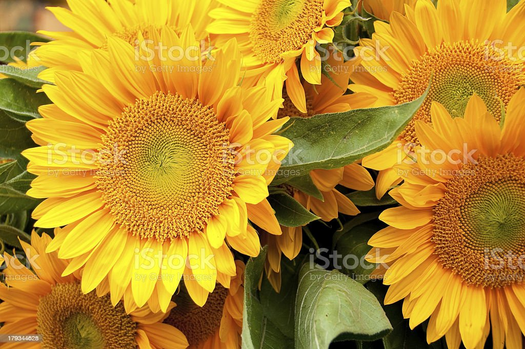 Pike Place Market Sunflowers royalty-free stock photo