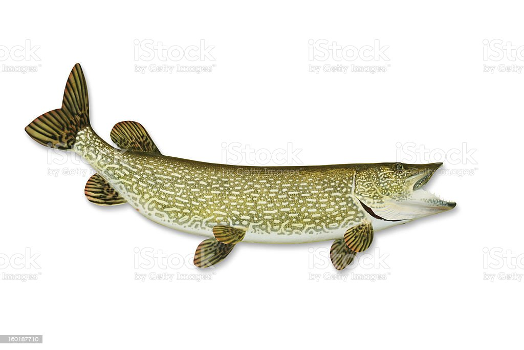 Pike with Clipping Path stock photo