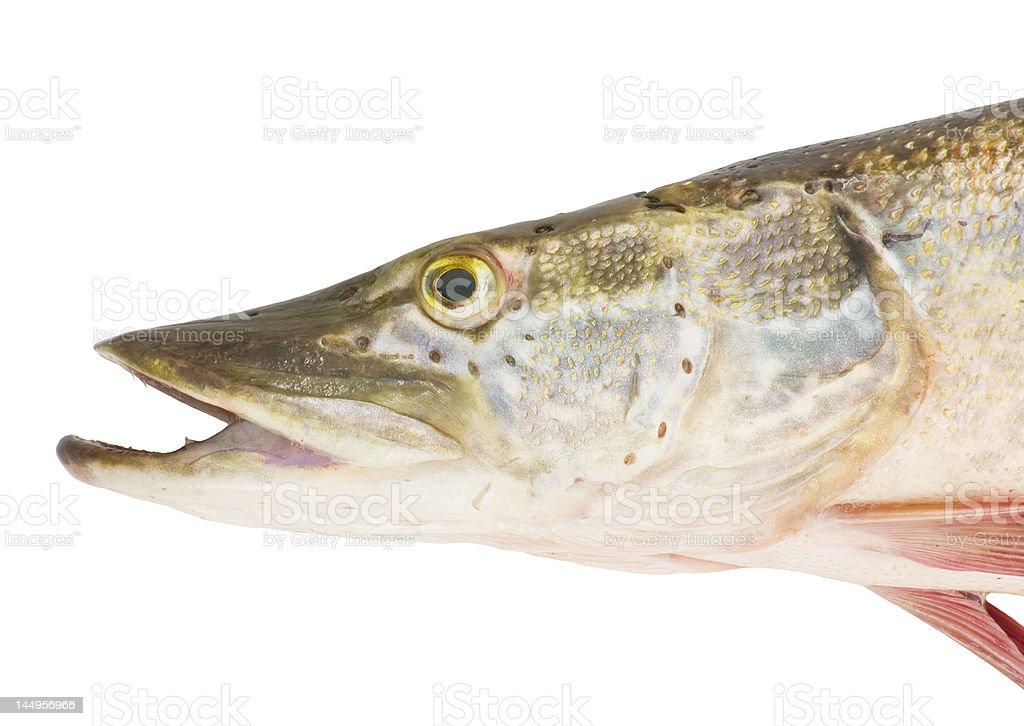 pike-fish head stock photo
