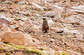 Pikes Peak Marmot
