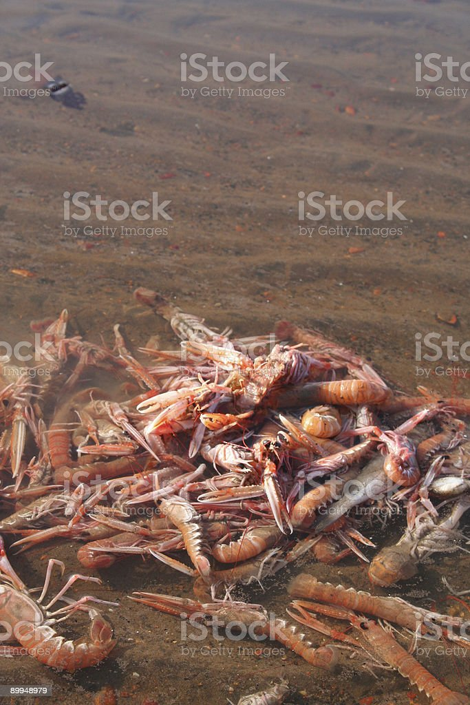 Pile of Dead Shrimp / Prawns stock photo