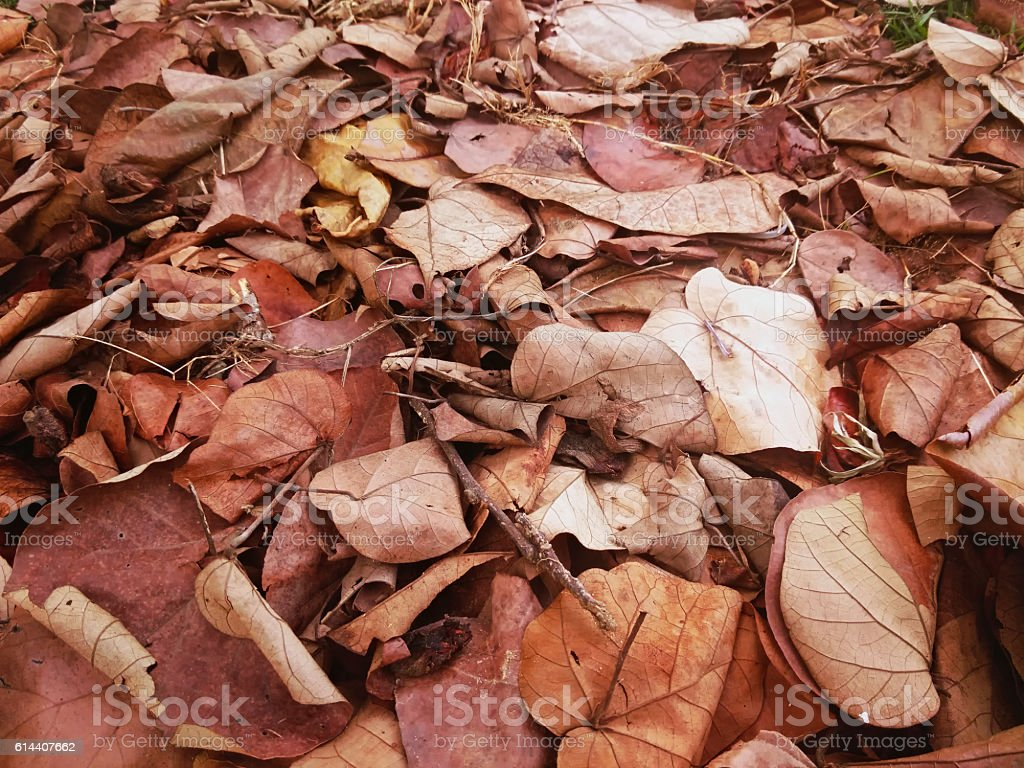 pile of dry sacred fig or Ficus religiosa's leaves stock photo