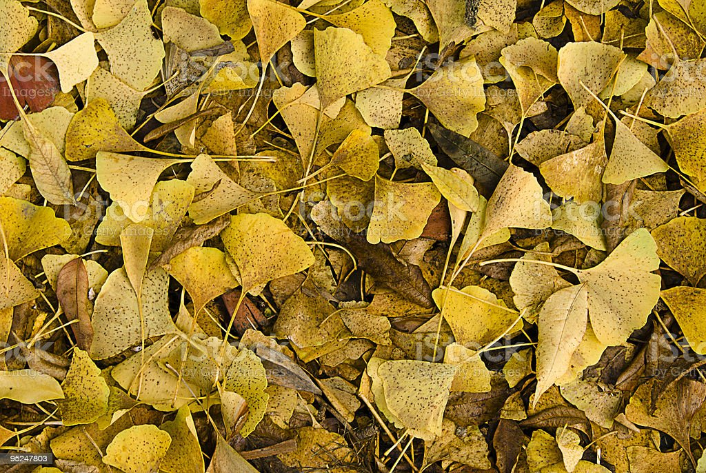 Pile of ginkgo leaves in Fall stock photo
