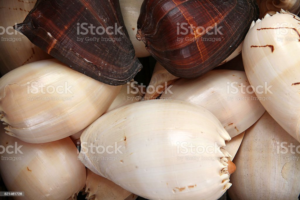 Pile of large sea snail shells stock photo