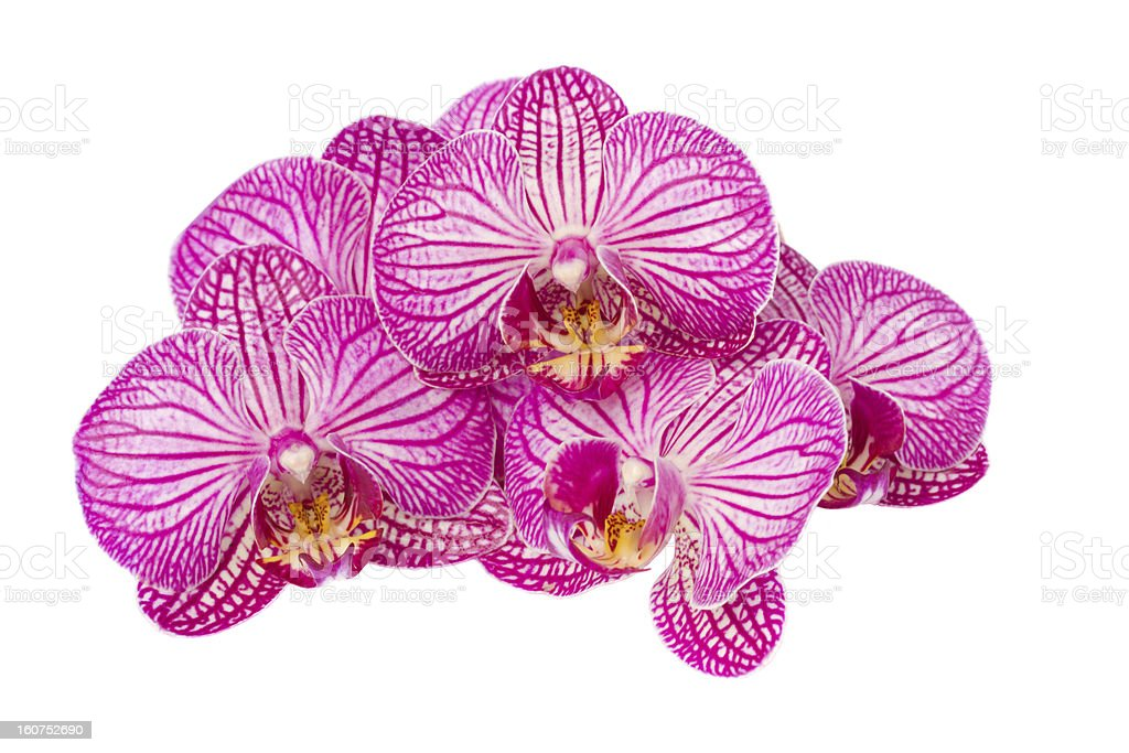 pile of  mauve orchid flowers royalty-free stock photo