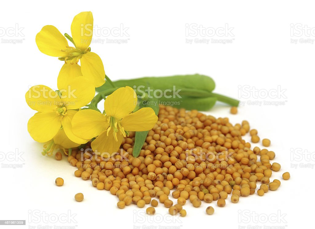 Pile of mustard seeds with mustard flower on top stock photo