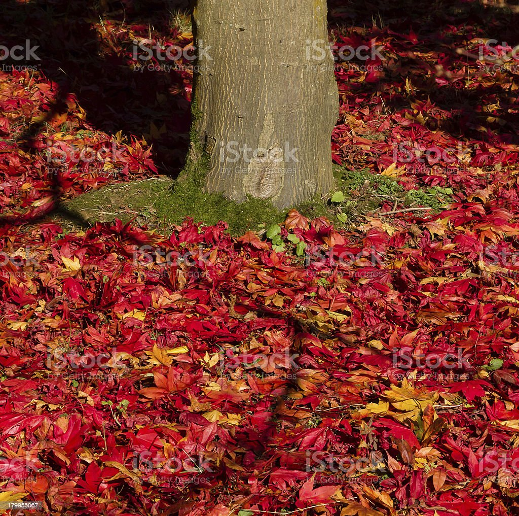 Pile of red and yellow Maple leaves on the ground royalty-free stock photo