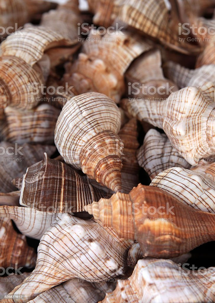 Pile of sea snail shells stock photo