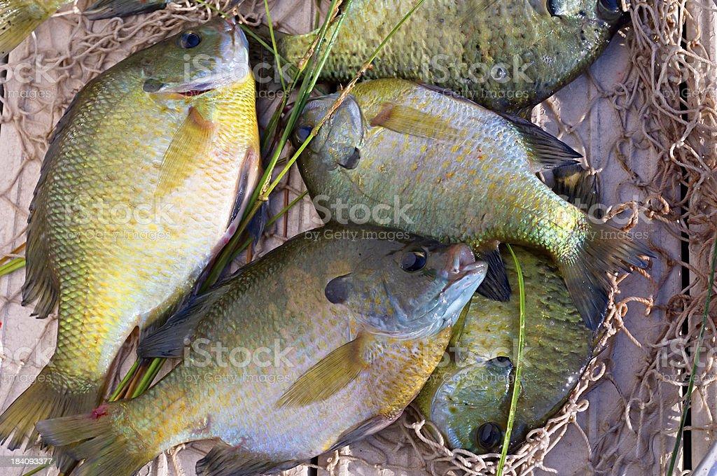 pile of sunfish royalty-free stock photo