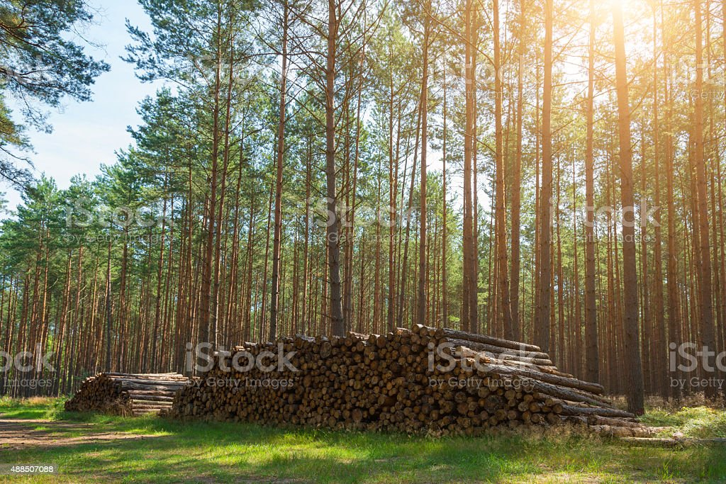 pile of wood harvest in pine forest in sunlight stock photo