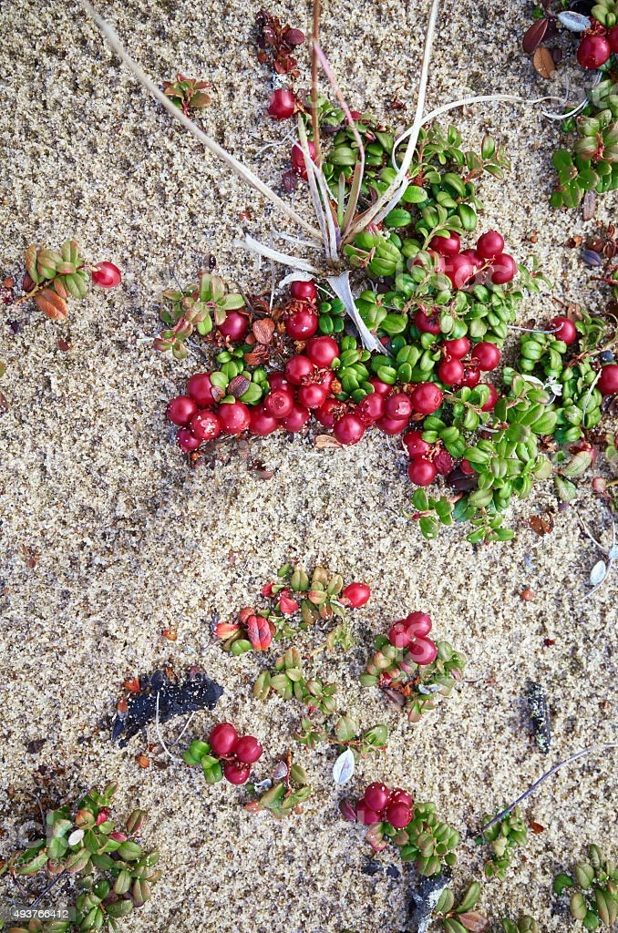 Pile red Lingonberries stock photo