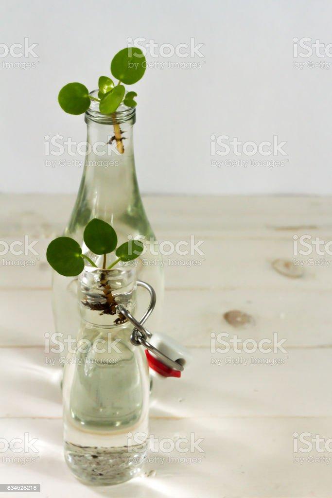 Pilea baby. Pilea peperomioides, money plant. stock photo
