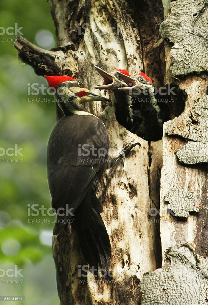 Pileated woodpecker at nest stock photo