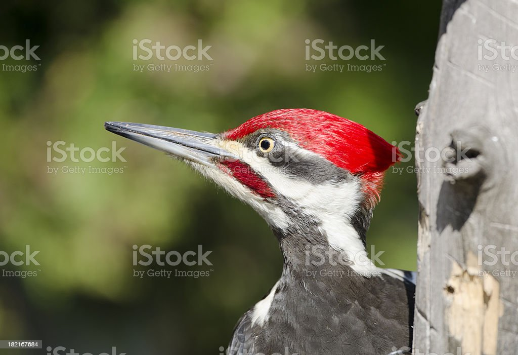 Pileated Woodpecker Face stock photo