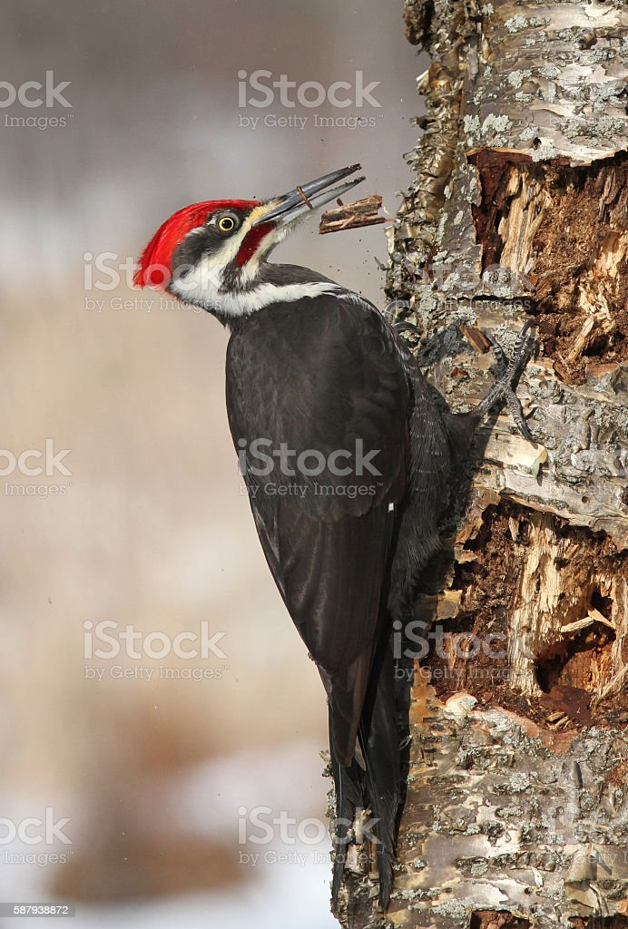 Pileated woodpecker in winter stock photo