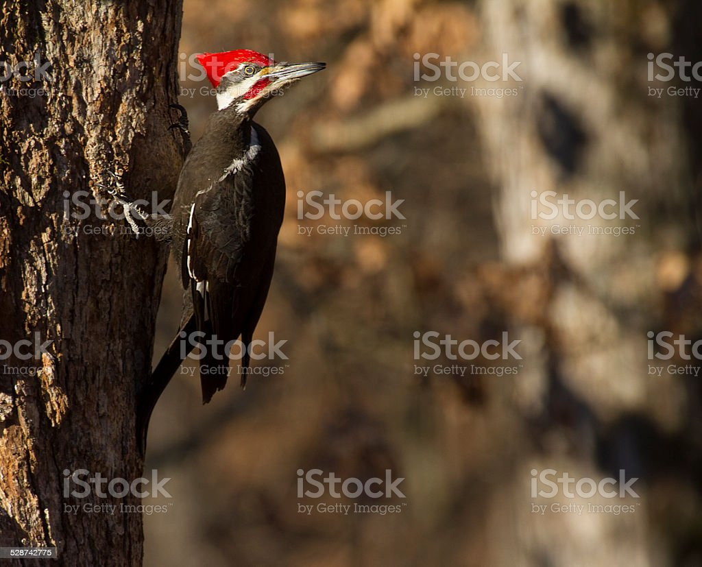 Pileated woodpecker looking back stock photo