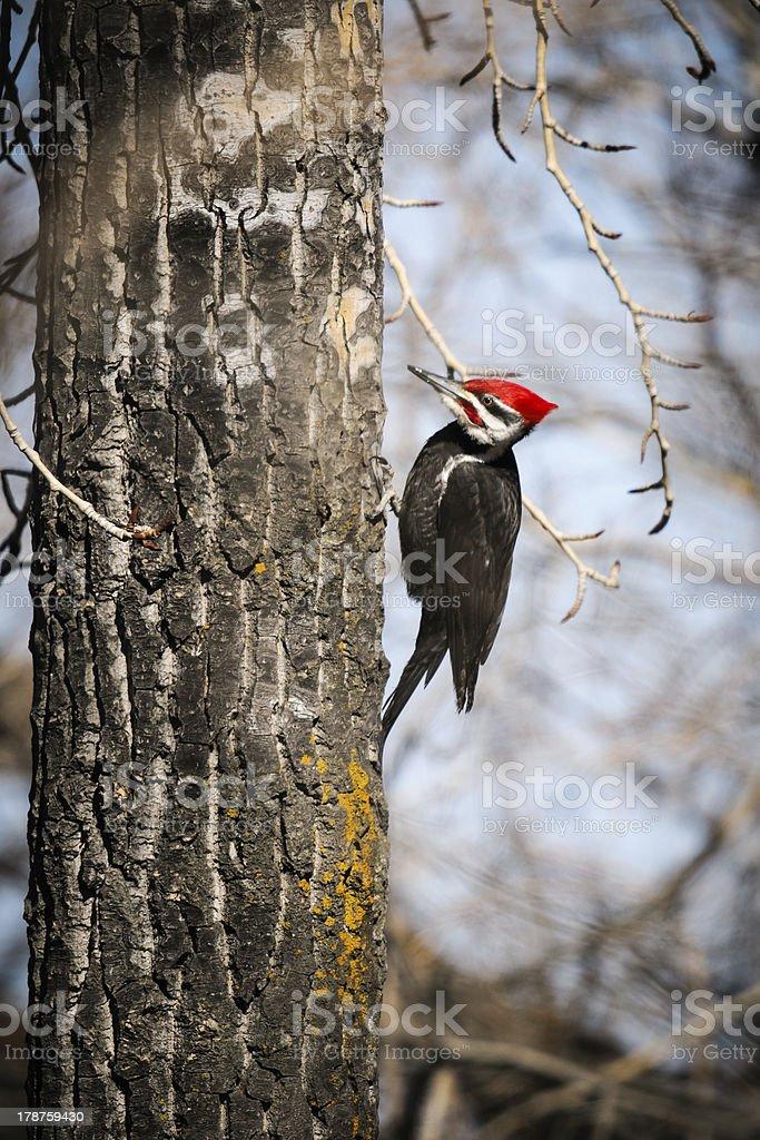 Pileated Woodpecker (Dryocopus pileatus) stock photo