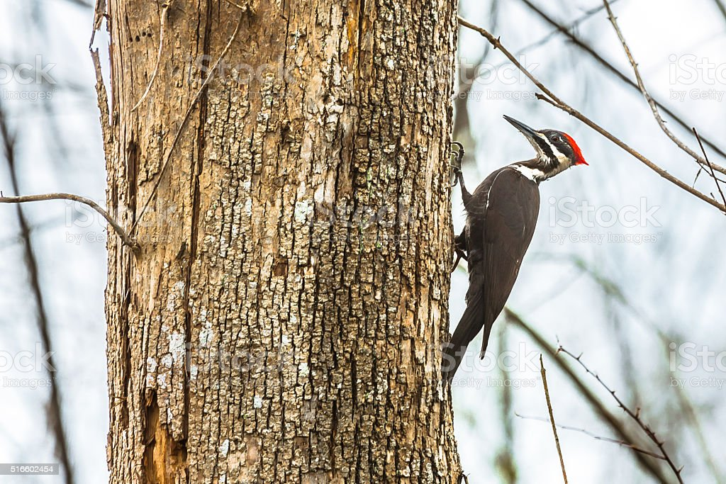 Pileated Woodpecker stock photo