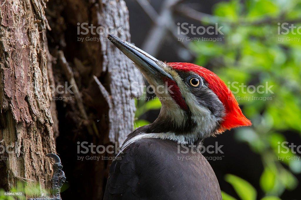 Pileated woodpecker portrait stock photo
