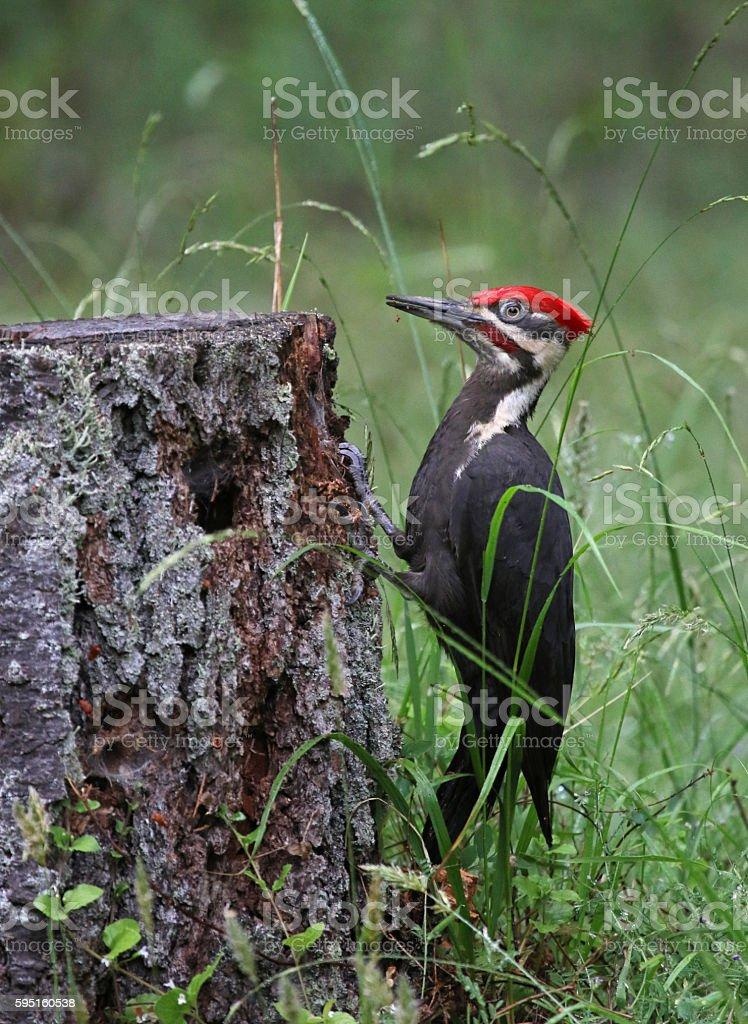 Pileated Woodpecker Profile stock photo
