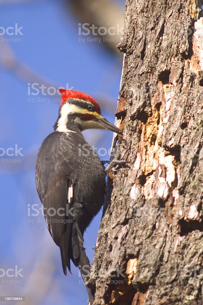 Pileated Woodpecker searching for food royalty-free stock photo