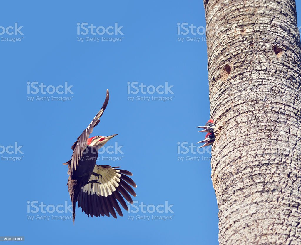 Pileated Woodpeckers Family stock photo