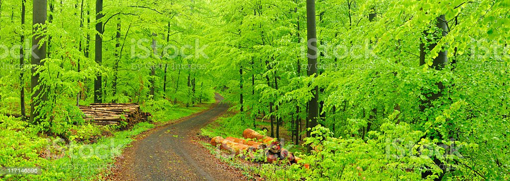 Piles of Lumber along Dirt Road through Spring Beech Forest royalty-free stock photo