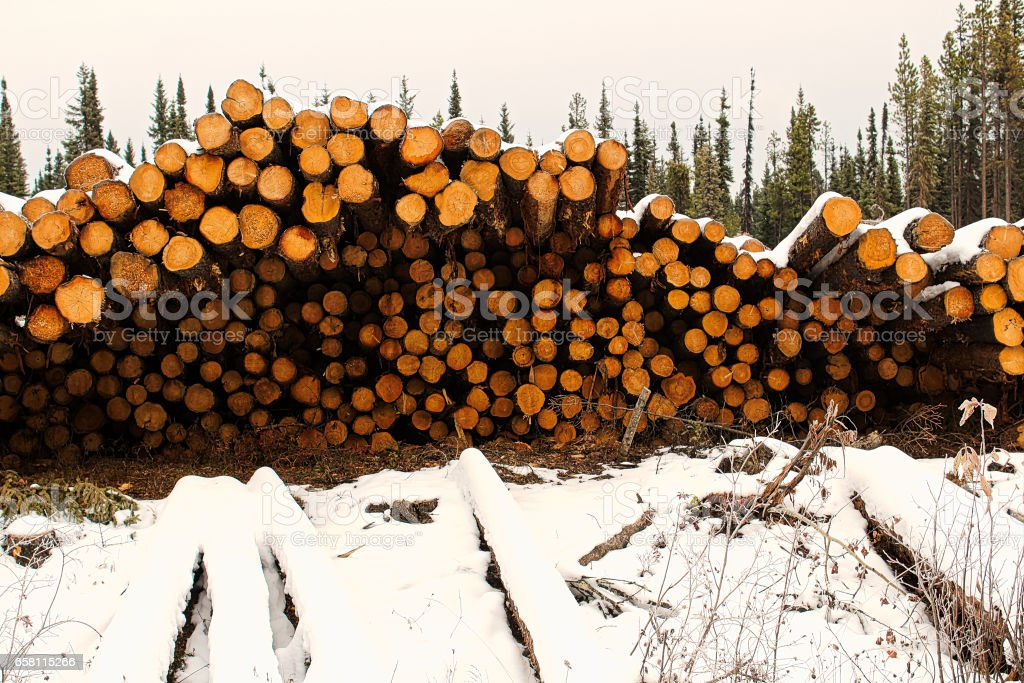Piles of spruce trees stacked prior to removal stock photo