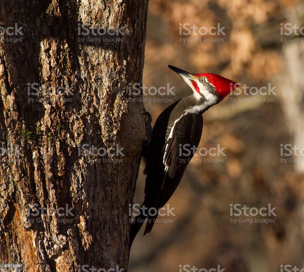 Piliated woodpecker on oak tree stock photo