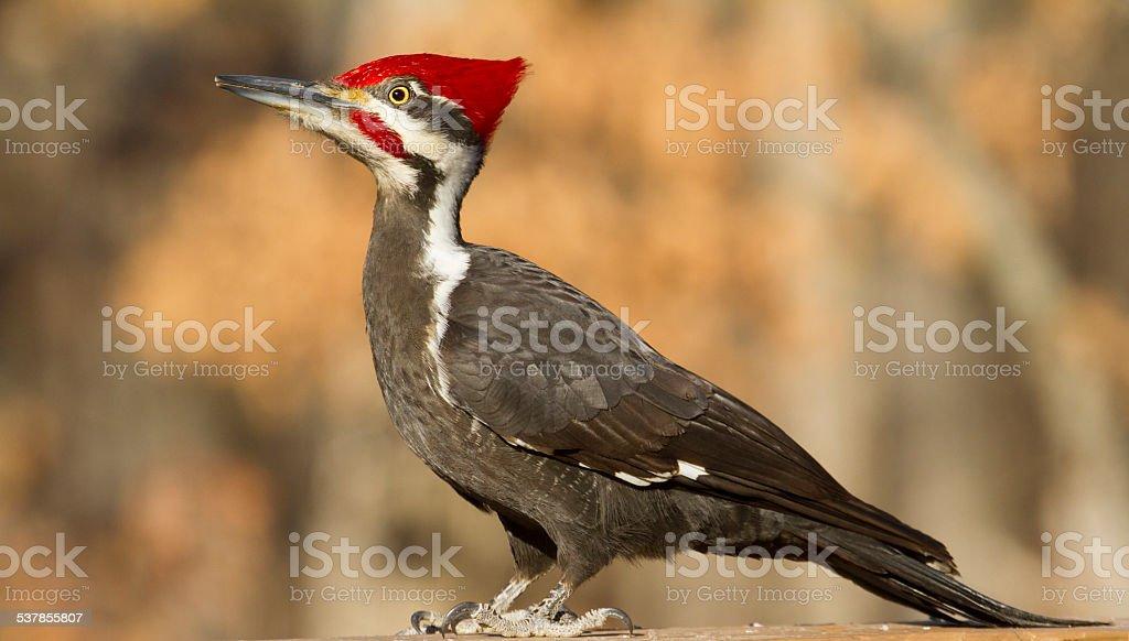 piliated woodpecker stock photo