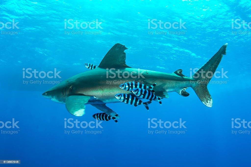 Pilot fishes stock photo