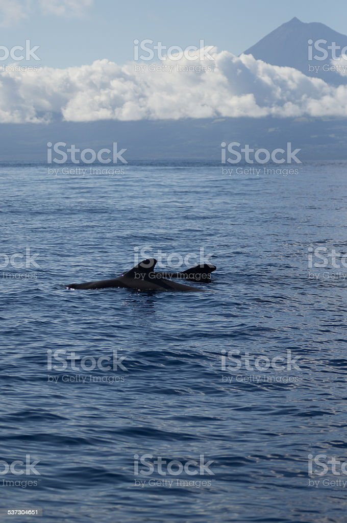 Pilot whales in front of Pico stock photo