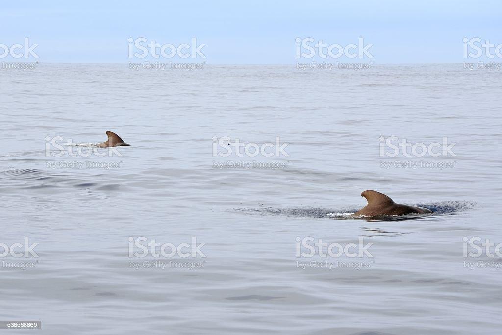 Pilot Whales Pair in Gulf Stream stock photo