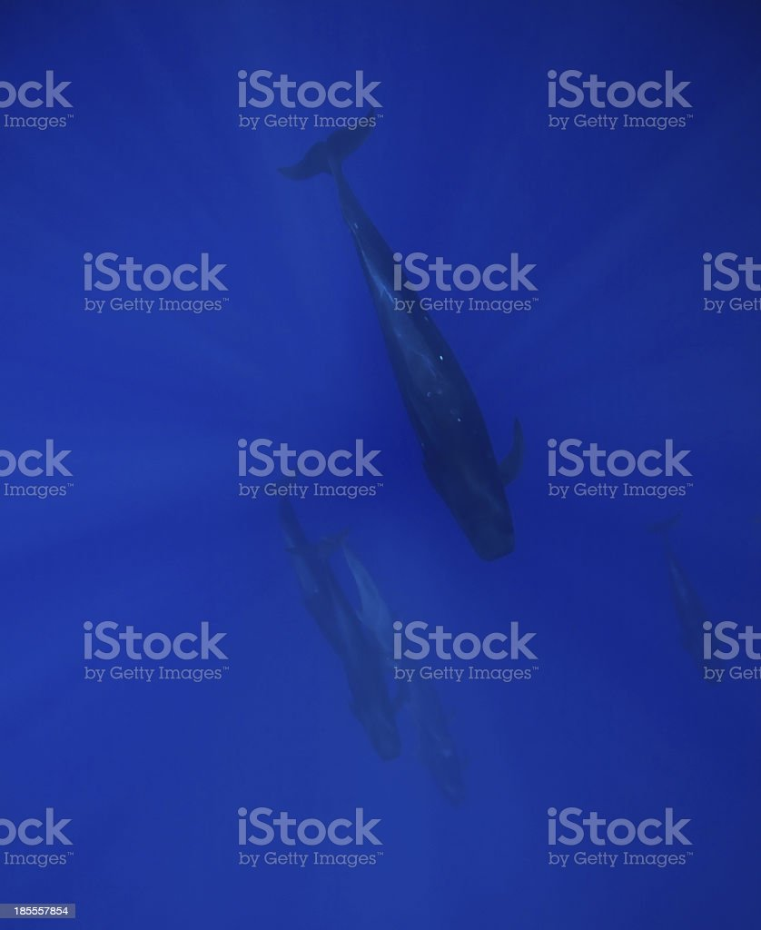 Pilot Whales stock photo