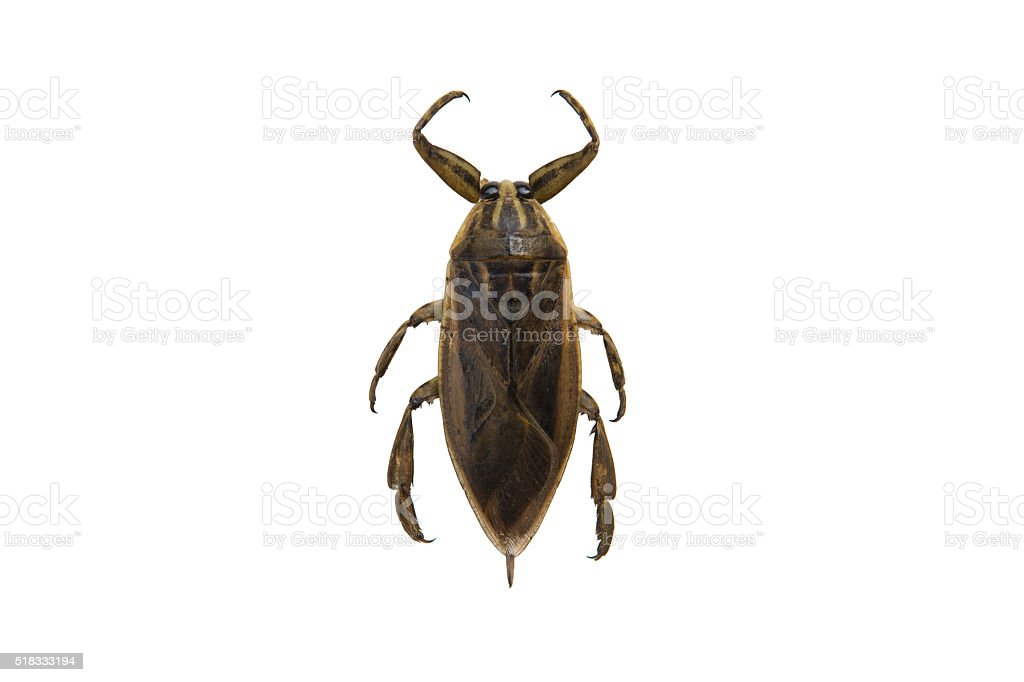 Pimp male insect isolated on white background stock photo