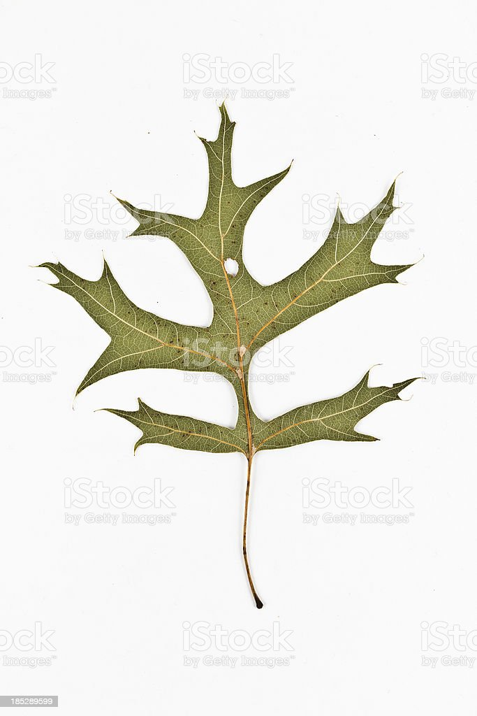 Pin Oak back - Quercus palustris stock photo