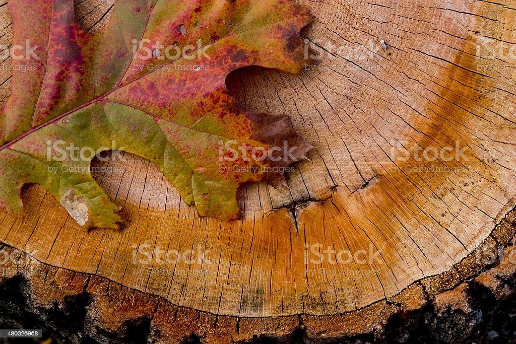 Pin Oak Leaf on Tree Stump stock photo