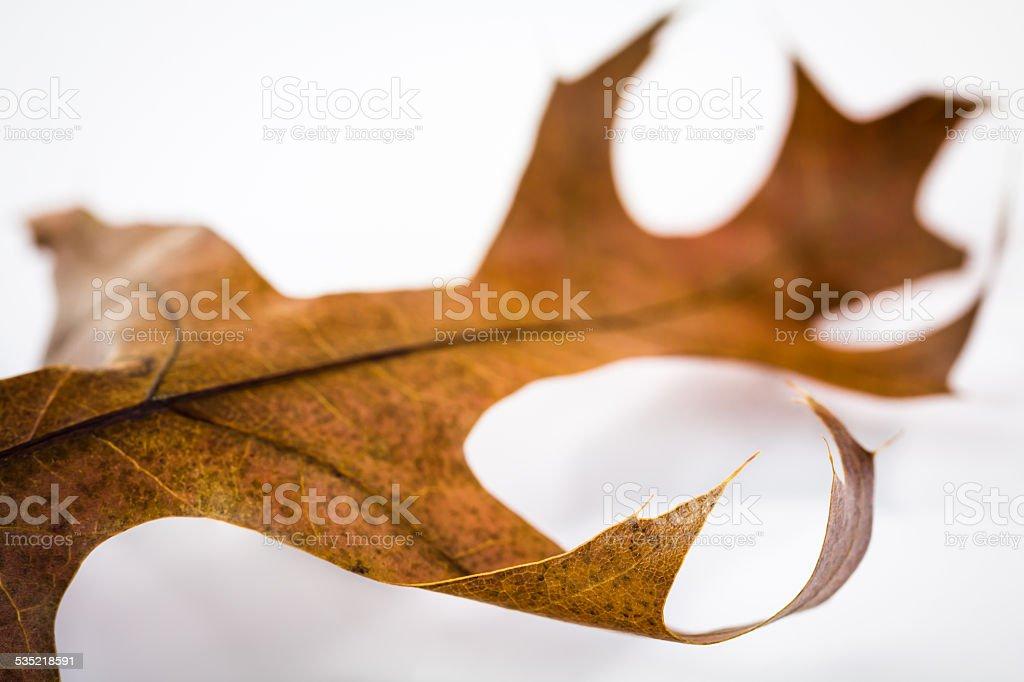 Pin oak leaf stock photo