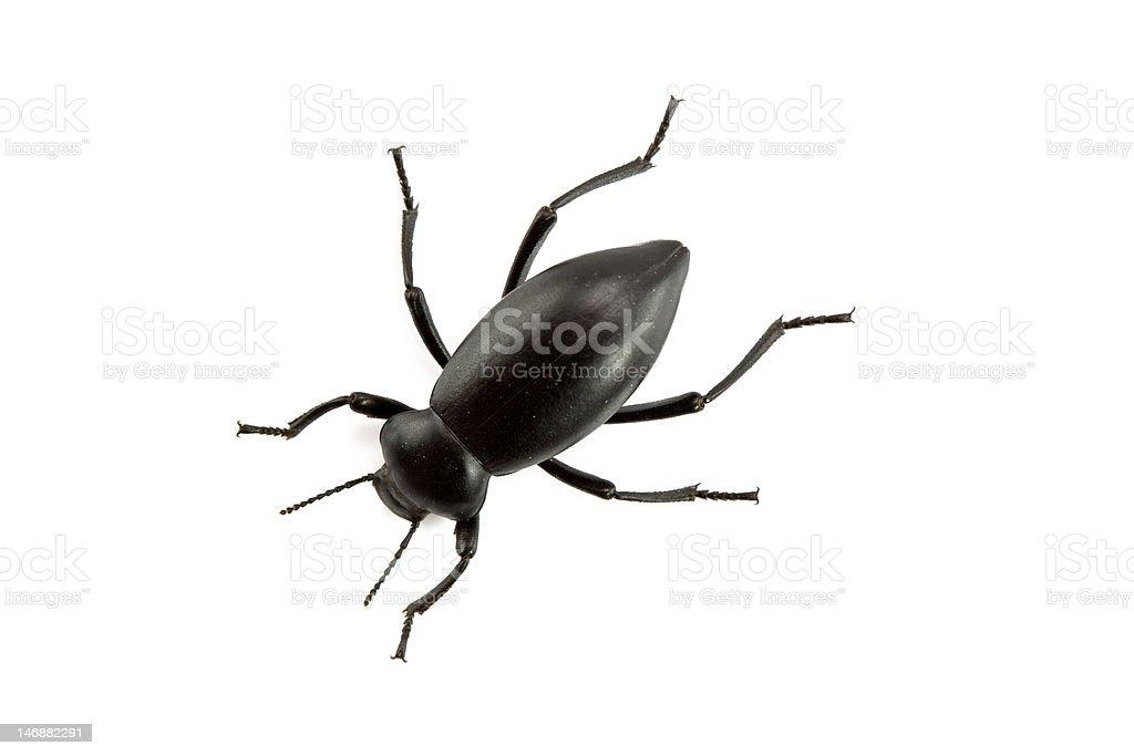 Pinacate Beetle of Genus Eleodes royalty-free stock photo