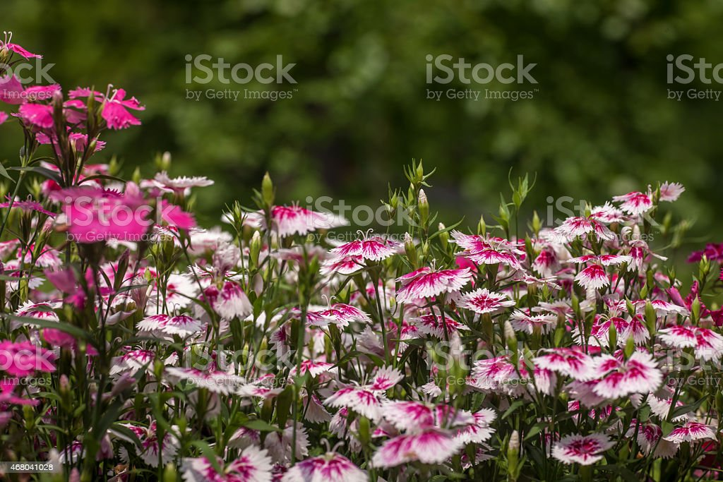 Pinc young flowers growing in green farm field stock photo