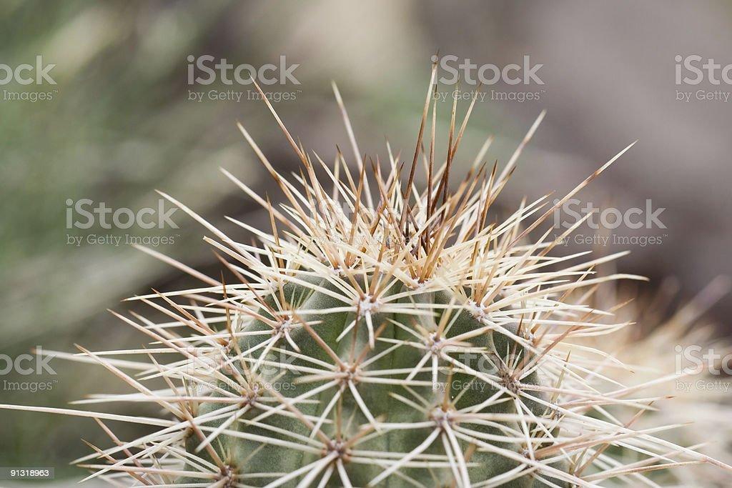 pincushion cactus close-up stock photo