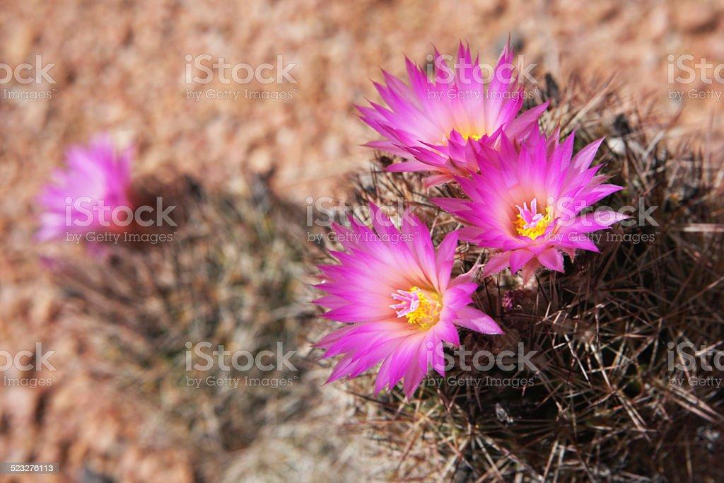 Pincushion Cactus Flower Blossom  Mammallaria stock photo