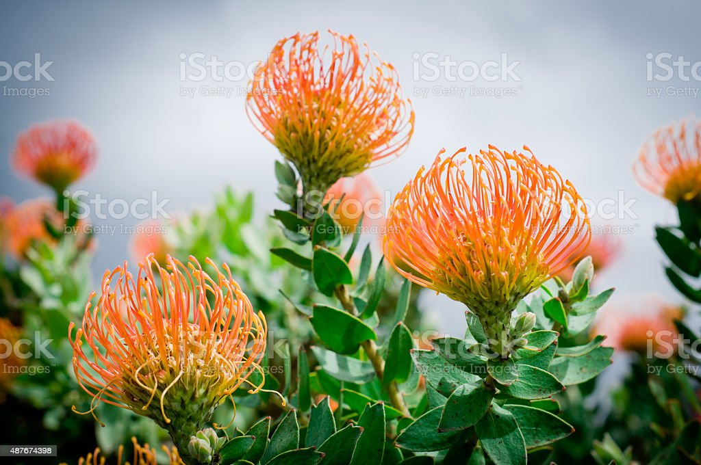 Pincushion Protea in wild in South Africa stock photo