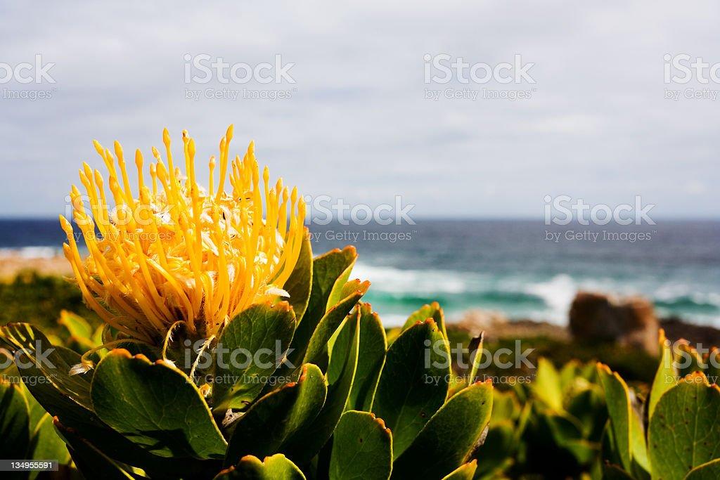 Pincushion protea stock photo